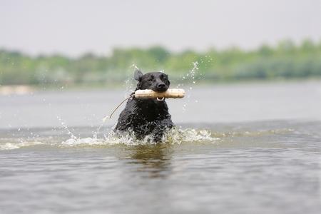 Labrador retriever riviere adobestock 23852054