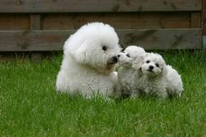 Maman et bebes bichons frises couches sur l herbe
