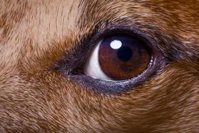 Oeil d un chien