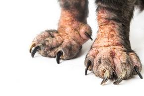 Pattes de chien avec de l eczema