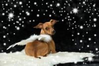 Petit chien en ange