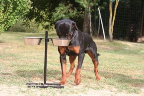 Rottweiler avec son support de gamelle