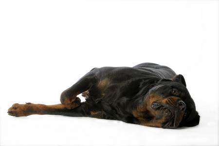 Rottweiler couche adobestock 19500474