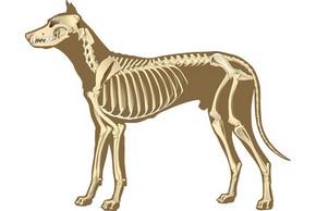 Squelette d un chien