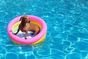 Teckel dans une piscine