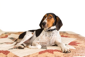 Treeing walker coonhound couche sur un lit