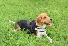 Un beagle couche sur de l herbe avec un harnais
